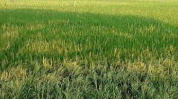 রায়গঞ্জে ধানের বাম্পার ফলনের স্বপ্ন দেখছেন কৃষকরা